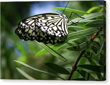 Rice Paper Butterfly - Canvas Print
