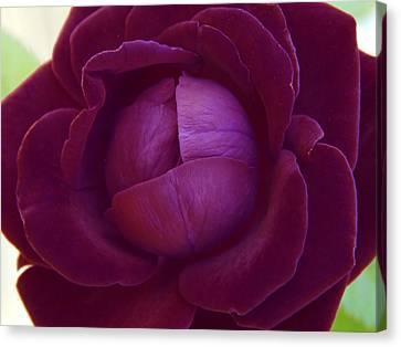 Rich Purple Lettuce Rose Canvas Print