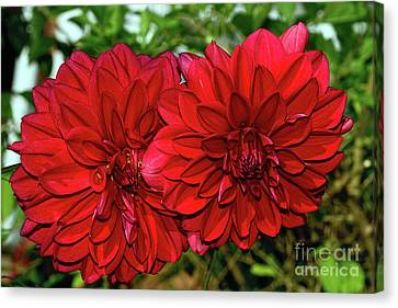 Canvas Print featuring the photograph Rich Red Dahlias By Kaye Menner by Kaye Menner