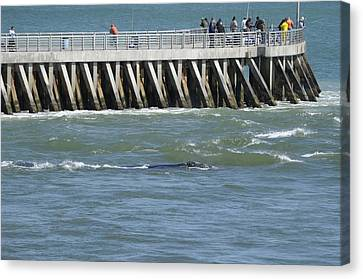 Canvas Print featuring the photograph Right Whale At Sebastian Inlet by Bradford Martin