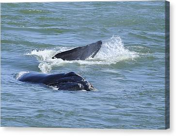 Canvas Print featuring the photograph Right Whale Head And Tail by Bradford Martin