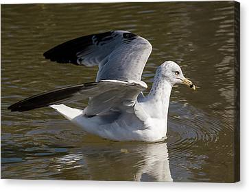 Ring-billed Gull Canvas Print by Bruce Frye
