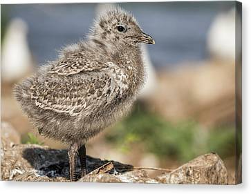 Canvas Print featuring the photograph Ring-billed Gull Chick 2016-1 by Thomas Young
