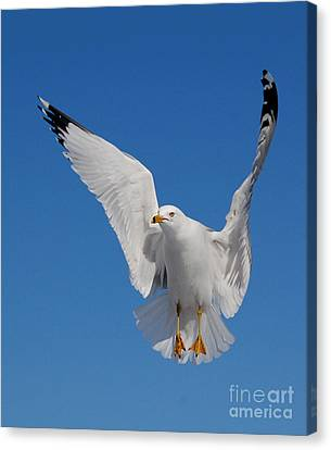 Ring Billed Gull In Flight Canvas Print by Mircea Costina Photography