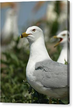 Ring-billed Gull Canvas Print by James Peterson