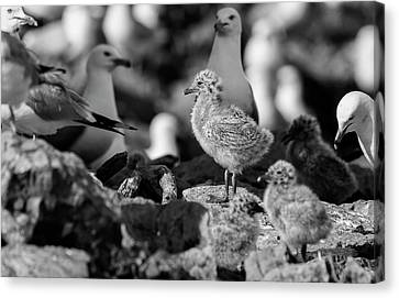Canvas Print featuring the photograph Ring-billed Gulls 2016-1 by Thomas Young