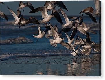 Ring-billed Gulls At Kiawah Island Canvas Print by Melissa Wyatt
