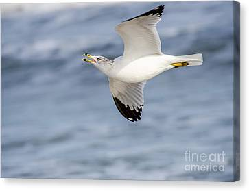 Bif Canvas Print - Ring-billed Seagull Looking For Attention by Debra Martz