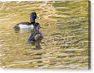 Ring-necked Couple Canvas Print by Kate Brown