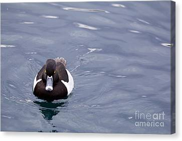 Ring-necked Duck Canvas Print