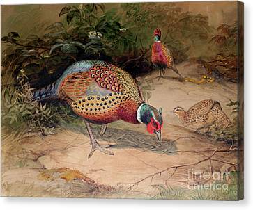 Ring Necked Pheasant Canvas Print by Joseph Wolf