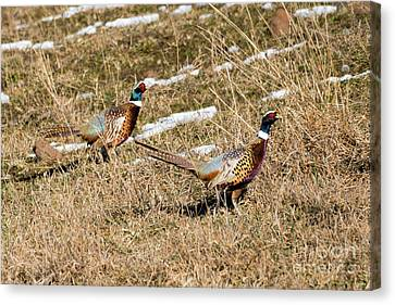 Ring-necked Pheasant Pair Canvas Print by Mike Dawson