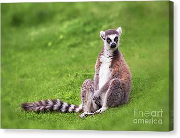 Ring Tailed Lemur Canvas Print by Amanda Elwell