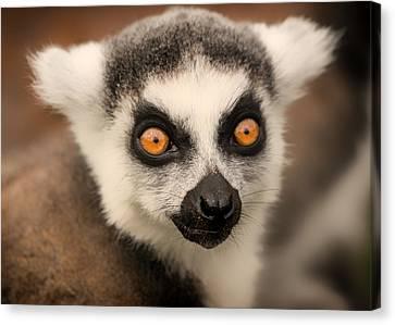 Canvas Print featuring the photograph Ring Tailed Lemur Portrait by Chris Boulton