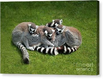 Ring Tailed Lemurs Canvas Print by Amanda Elwell