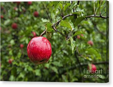 Ripe Apples. Canvas Print by John Greim