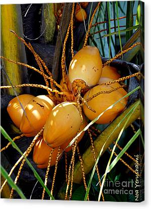 Ripe Golden Dwarf Coconut  Canvas Print by Noa Yerushalmi