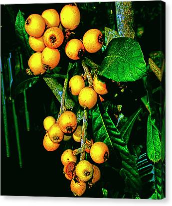Ripe Loquats Canvas Print