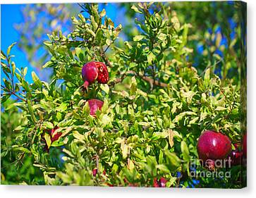 Ripe Pomegranate On The Tree In Jerusalem During Sukkoth Canvas Print
