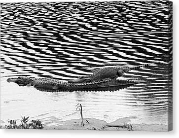 Canvas Print featuring the photograph Ripped Aligators by Farol Tomson