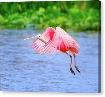 Rise Of The Spoonbill Canvas Print by Mark Andrew Thomas