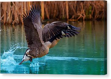 Rising Flight Canvas Print by Brian Stevens