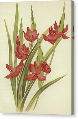 Crimson Lilies Canvas Print - River Lily Or Crimson Flag by English School
