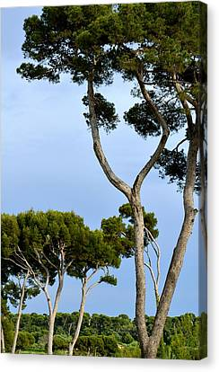 Riviera Trees Canvas Print
