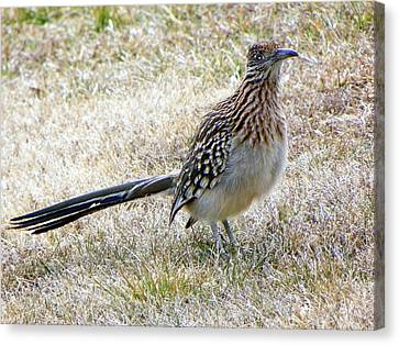 Roadrunner New Mexico Canvas Print by Joseph Frank Baraba