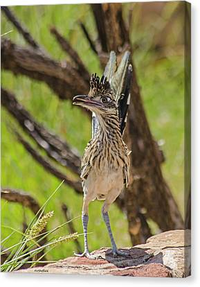 Roadrunner - Youngster Canvas Print by Allen Sheffield