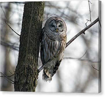 Roadside Barred Owl Canvas Print