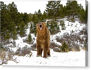 Roaring Grizzly In Winter Canvas Print