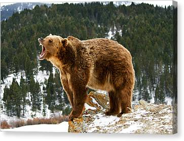 Roaring Grizzly On Rock Canvas Print