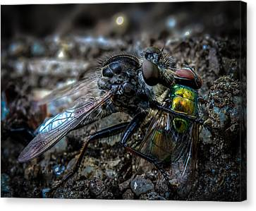 Robbers Canvas Print - Robber Fly Eating Green Bottle Fly by Bob Orsillo