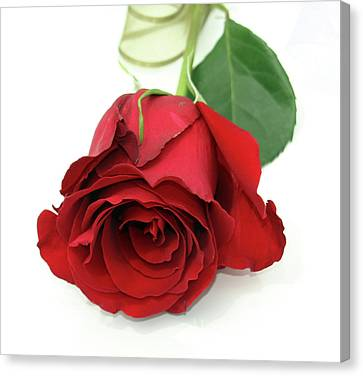 Roberts Single Red Rose Canvas Print