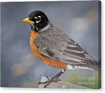 Canvas Print featuring the photograph Robin by Douglas Stucky