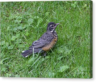 Canvas Print featuring the photograph Robin Fledgling by Chris Scroggins