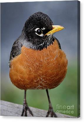 Canvas Print featuring the photograph Robin II by Douglas Stucky