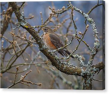 Robin In A Tree Canvas Print by Keith Boone
