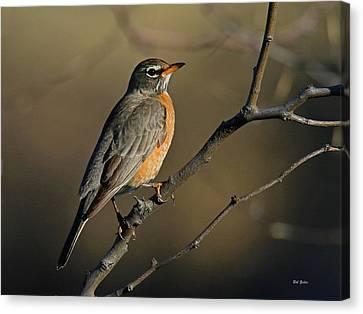 Robin In Early Morning Light Canvas Print by Bob Zeller