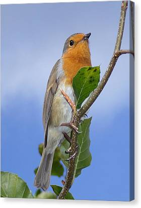Robin In Eden Canvas Print