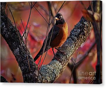 Canvas Print featuring the photograph Robin In The Dogwood by Douglas Stucky