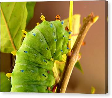 Canvas Print featuring the photograph Robin Moth Caterpillar by Claire Bull
