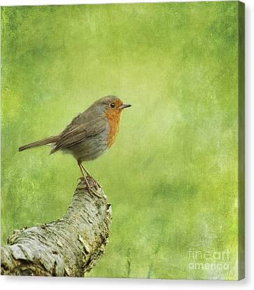 Robin On Branch Canvas Print by Liz Leyden