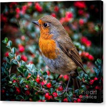 Robin Redbreast Canvas Print by Adrian Evans