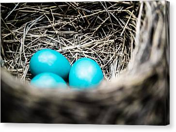 Robin's Eggs Canvas Print by Shelby  Young