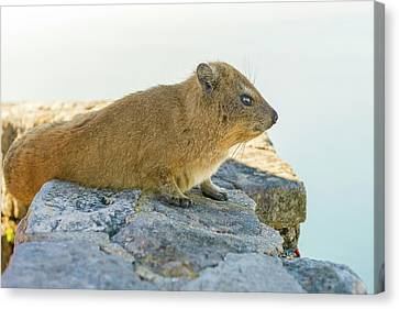 Rock Hyrax On Table Mountain Cape Town South Africa Canvas Print