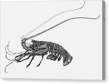 Rock Lobster Canvas Print by Judith Kunzle