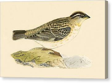 Sparrow Canvas Print - Rock Sparrow by English School