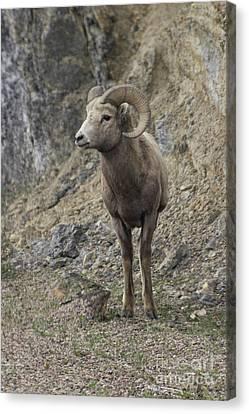 Rockies Big Horn Canvas Print